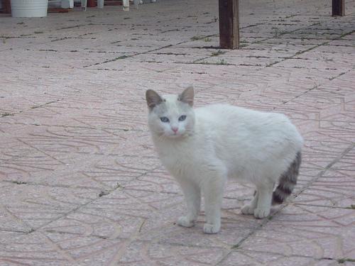 Gato Mapache