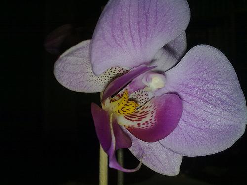 Orquídea (8marzo)